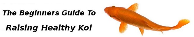 beginners-guide-to-raising-koi
