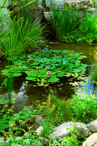 Garden fish pond plants garden fish for Plants for around garden ponds